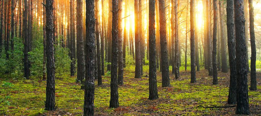 saulriets mežā